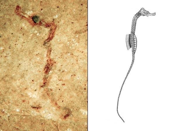 Ископаемый карликовый иглоконек Hippotropiscis frenki