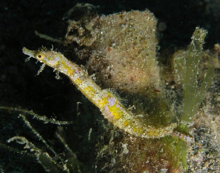Современный карликовый иглоконек Acentronura tentaculata