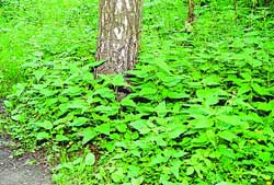 От гниющего мусора почва становится рыхлой. Такие условия способствуют разрастанию крапивы - растения, не свойственного лесу. Там же.