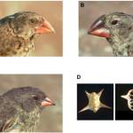 Дарвиновы вьюрки: расщепление и слияние форм
