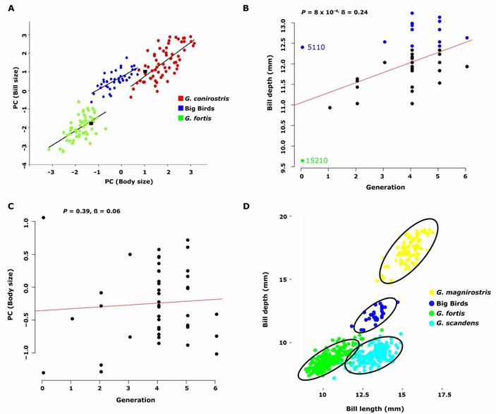 Рис. 4. Морфология «больших птиц». A — соотношение размера клюва (по вертикальной оси) и размера тела (по горизонтальной оси) у «больших птиц» (синие точки) и двух родительских видов (зеленые и красные точки). B — увеличение вертикального размера основания клюва (bill depth) у «больших птиц» в течение шести поколений. Синяя точка с номером 5110 соответствует отцу-основателю, зеленая точка 15210 — его супруге, другие синие точки — «большим птицам» с более крупным клювом, чем у родоначальника. С — изменение размера тела у «больших птиц» в течение шести поколений (график показывает отсутствие значимого роста). D — пропорции клюва (по вертикальной оси — вертикальный размер основания, по горизонтальной — длина) у четырех видов вьюрков, обитающих на острове Дафне. Рисунок из обсуждаемой статьи в Science