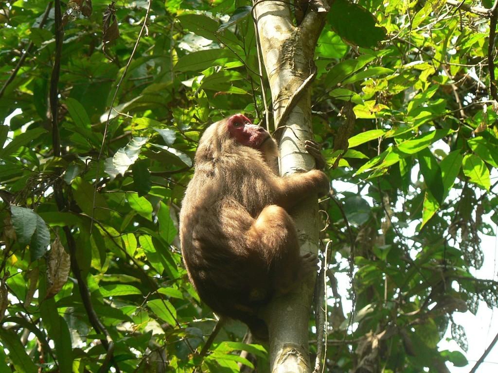 медвежий макак Macaca arctoides