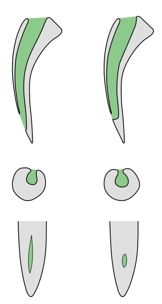 Сечения ядовитых зубов плюющихся ядом (справа) и неплюющихся кобр. 1. Сагиттальное сечение через зуб. 2. Горизонтальное на уровне выпускных отверстий. 3. Фронтальный вид их же