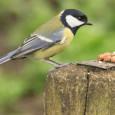 Print PDF Ещё про «копирование поведения» Кристина Уласович «Синицы учатся не есть невкусную или опасную пищу, наблюдая заповедением своих сородичей, сообщается встатье вжурнале Nature Ecology &Evolution. Помнению ученых, это может […]