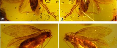 Палеонтологам удалось открыть новый источник информации об эволюции чешуекрылых (Lepidoptera) — изолированные крыловые чешуйки, сохранившиеся в толще осадочных пород. Изучив буровые...