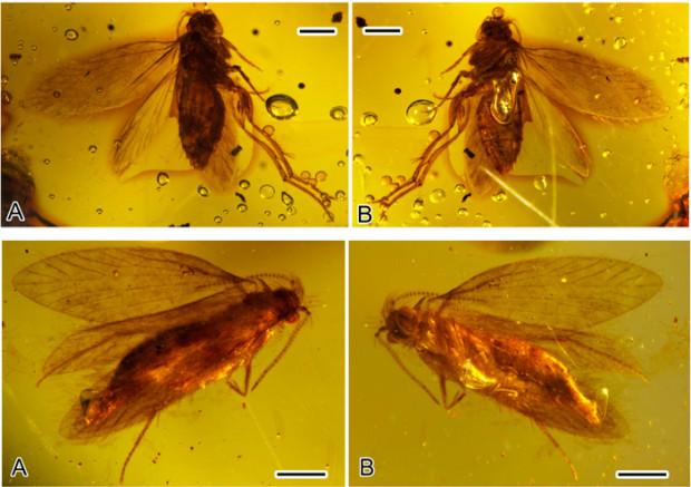 Рис. 1. Зубатая моль Sabatinca из мелового бирманского янтаря возрастом 100 млн лет. Длины масштабных отрезков — 0,5 мм. Похожие представители этой группы часто попадаются и в более молодом эоценовом балтийском янтаре. Фото из статьи W. Zhang et al., 2017. Cretaceous moths (Lepidoptera: Micropterigidae) with preserved scales from Myanmar amber