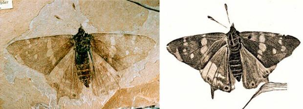 Рис. 2. Одна из древнейших дневных бабочек, Prodryas persephone (Nymphalidae) и, пожалуй, самое известное ископаемое чешуекрылое. Данный отпечаток обнаружили еще в 1878 году в отложениях верхнего эоцена в местечке Флориссант (США) возрастом около 35 млн лет. Длина переднего крыла 25 мм. Гарвардский профессор Фрэнк Карпентер (1902–1994), крупнейший американский специалист по ископаемым насекомым, потративший на их изучение 70 лет, рассказывал, что именно этот экземпляр вдохновил его на выбор специальности. Изображения с сайтов mindfuldrawing.com и tywkiwdbi.blogspot.ru