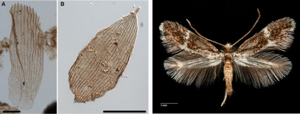 Рис. 3. Слева: чешуйки Lepidoptera, извлеченные из бурового керна при споро-пыльцевом анализе, под световым микроскопом, длины масштабных отрезков — 20 мкм. Фото из обсуждаемой статьи в Science Advances. Справа: примитивное хоботковое чешуекрылое, относящееся к семейству Acanthopteroctetidae. Чешуйки такого же строения, как у этого насекомого, были найдены в отложениях конца триаса — начала юры. Фото с сайта bugguide.net