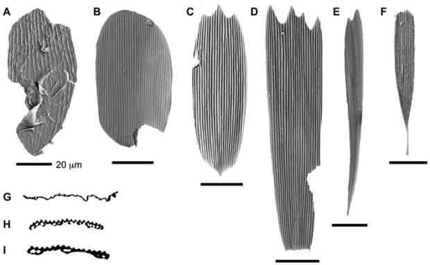 Рис. 4. Фотографии чешуек, извлеченных из бурового керна, выполненные с помощью сканирующего микроскопа. A — чешуйка первого типа, принадлежавшая зубатой моли наподобие Micropterigidae, G — поперечный срез, на котором видно, что она цельная. B–E — чешуйки второго типа, принадлежавшие примитивным хоботковым чешуекрылым (Glossata), H, I — поперечные срезы, на которых видны внутренние полости. F — чешуйка неясного происхождения. Изображение из обсуждаемой статьи в Science Advances