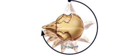 Print PDF Совы – уникальные животные. Они обладают необычными приспособлениями для выживания: начиная бесшумными полетами и заканчивая строением слуха. Но человека больше всего привлекла удивительная способность сов к повороту головы. […]