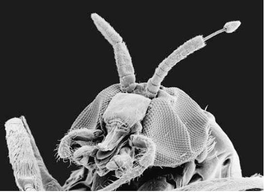 Паразит Onchocerca volvulus, возбудитель речной слепоты, высовывается из антенны насекомого-переносчика — мошки Simulium yahense