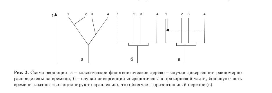 Рис. 2. Схема эволюции: а – классическое филогенетическое дерево – случаи дивергенции равномерно распределены во времени; б – случаи дивергенции сосредоточены в прикорневой части, большую часть времени таксоны эволюционируют параллельно, что облегчает горизонтальный перенос (в).