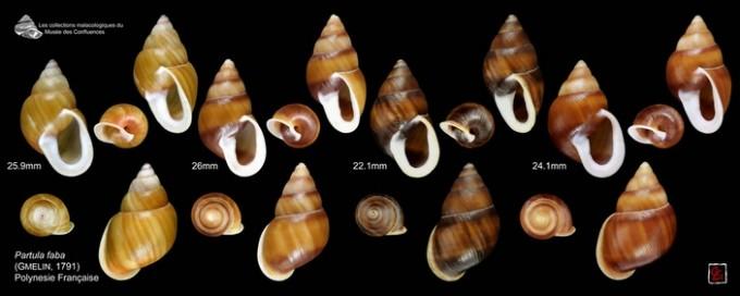Рис 2. Ряд экземпляров улитки Partula faba из Музея слияния, Лион (Франция). Данный вид изначально обитал на островах Раиатеа и Тахаа (Острова Общества, Французская Полинезия), но полностью исчез у себя на родине вскоре после инвазии хищной улитки Euglandina rosea в начале 1990-х годов. Несколько десятков особей вида были вывезены в Европу и внедрены в программу разведения в неволе, однако и террариумная популяция со временем угасла. Последняя особь P. faba умерла 21 февраля 2016 года в зоопарке Эдинбурга. Фото © Claude and Amandine Evanno с сайта flickr.com