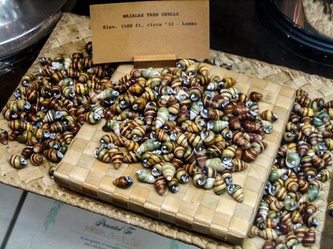 Рис. 4. Раковины улиток из рода Achatinella, собранные на территории Уэйэла Кантри Клаб на острове Оаху примерно в 1933 году. Фото с сайта wikipedia.org