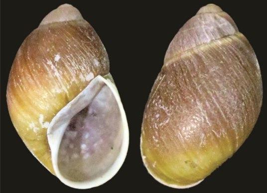 Megalobulimus cardosoi