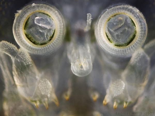 Сосательный аппарат и присоски, с помощью которых рачок-карпоед Argulus foliaceus прикрепляется к телу рыб. Фото с сайта http://www.aquarienfotografie.net