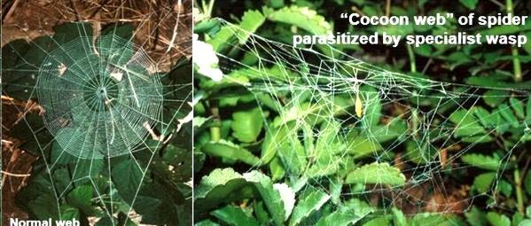Найдите десять отличий! Слева паутина, сплетенная «обычным» пауком Plesiometa argyra, а справа его зараженным паразитом собратом. На правом фото хорошо заметен, свисающий из центра паутины кокон. Источник фото – Eberhard, 2001 (http://slideplayer.com/slide/6625943)