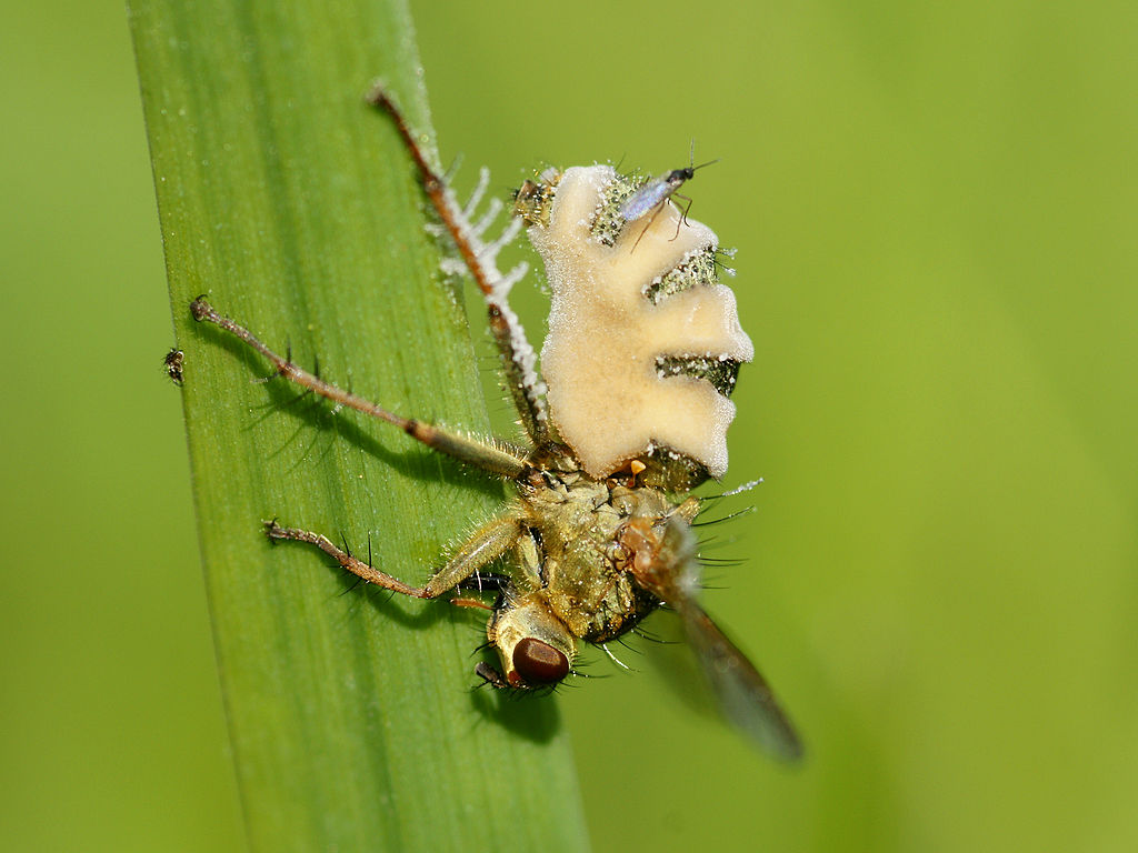 Entomophthora muscae, колонизировавшая муху Scathophaga stercoraria