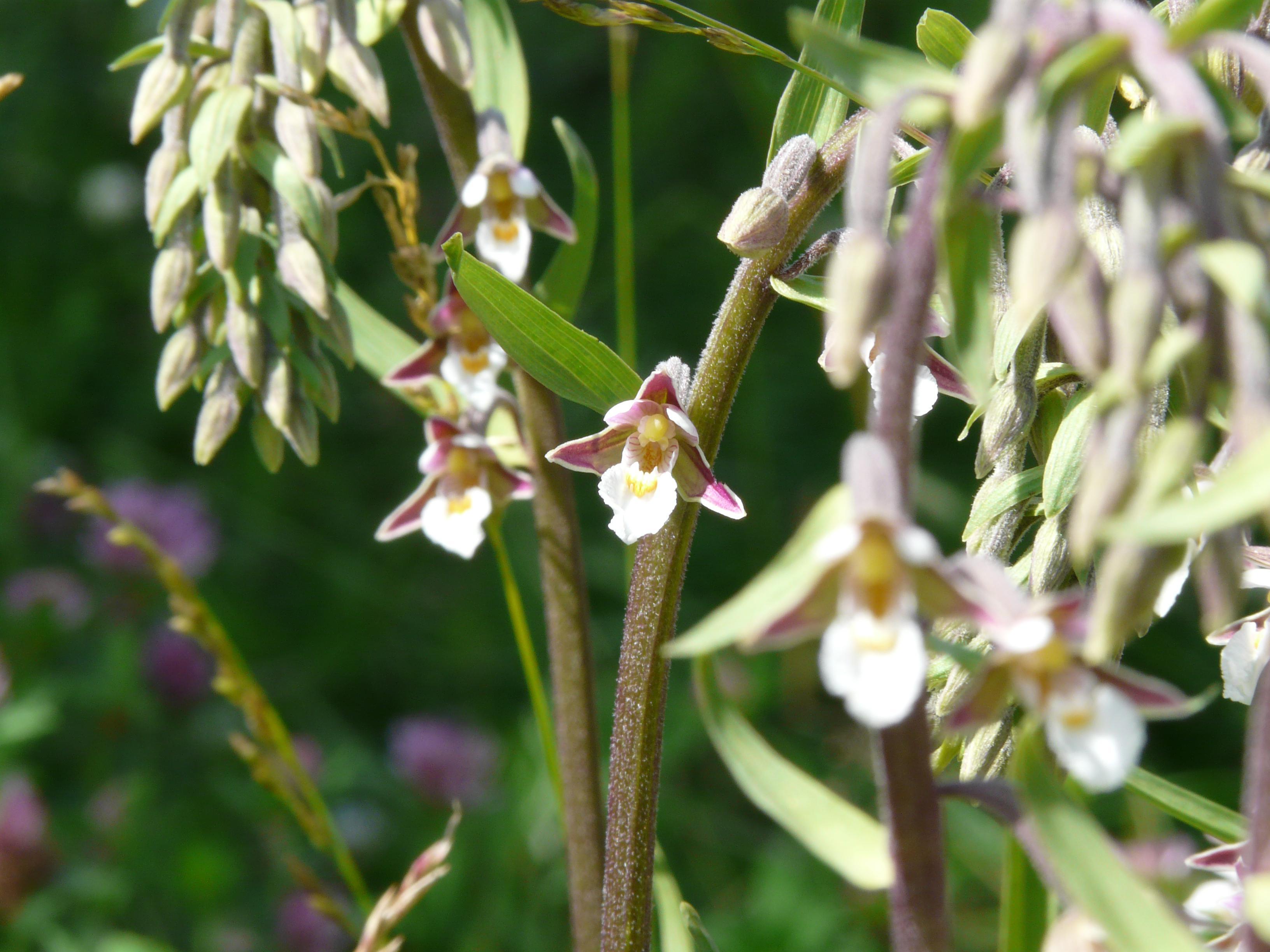 5. Дремлик болотный Epipactis palustris