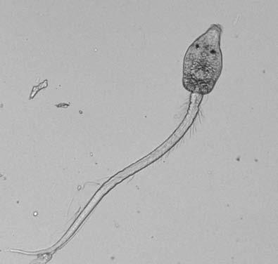 Церкарии трематоды Cercaria batillariae. В марши т ихоокеанского побережья США проникла с инвазионным видом улиток Batillaria attramentaria; выделяясь из них, заражает местные виды рыб