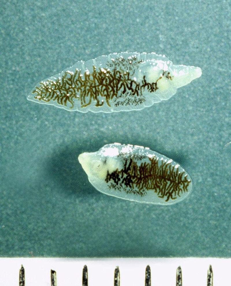 Ланцетовидная двуустка Dicrocoelium dendriticum