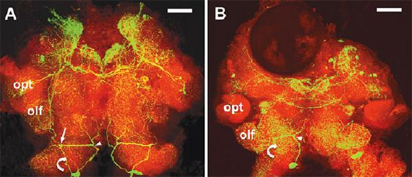Распределение серотонина (прокрашен зеленым) в мозге здорового (слева) и зомбированного (справа) скребнем (колючеголовым червем) бокоплава гаммаруса. olf и opt — обонятельные и зрительные участки соответственно. Стрелками показаны нейроны тритоцеребрума (заднего отдела головного мозга). Длина масштабной линейки 100 мкм. Рисунок из статьи: Simone Helluy. Parasite-induced alternations of sensorimotor pathways in gammarids: collateral damage of neuroinflammation? в The Journal of Experimental Biology