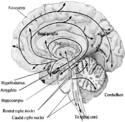 Рис. 1. Серотонинергические пути в мозге человека (Дж.Г. Николлс и др., 2008) [2]