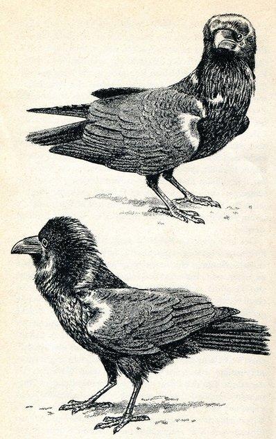Поза импонирования у 3-хлетних самцов воронов. Это и другие изображения демонстраций из: Konrad Lorenz 1939 Die Paarbildung beim Kolkraben Zeitschrift für Tierpsychologie 3(3): 278-292.