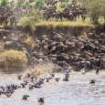 Многие травоядные млекопитающие совершают регулярные миграции, следуя за сезонными «волнами» наиболее подходящей для них растительности. Гипотеза о том, что это поведение не прописано в генах, а передается путем социального...