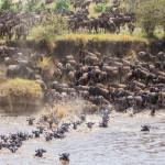 Сезонные миграции копытных определяются культурой, а не генами