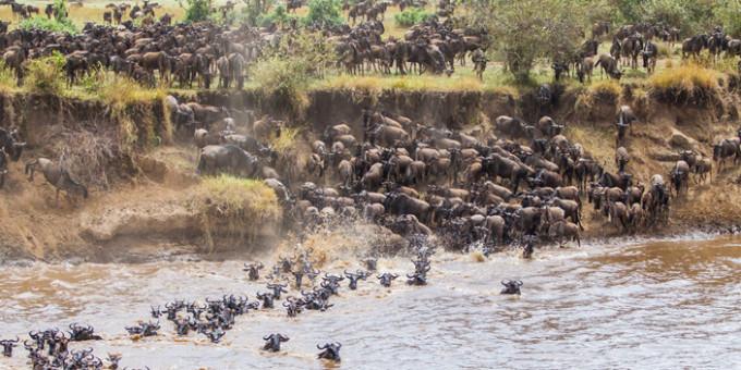 Рис. 1. Массовые сезонные миграции гну в восточной Африке считаются одним из самых впечатляющих зрелищ на планете. Фото с сайта bushtopscamps.com