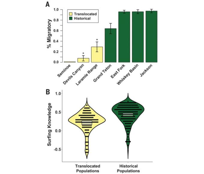 Рис. 3. Миграционное поведение толсторогов в семи популяциях, три из которых являются «новыми» (показаны желтым цветом), а остальные четыре — «историческими» (показаны зеленым цветом). Верхний график показывает долю особей, совершающих регулярные сезонные миграции. Видно, что в «исторических» популяциях так ведут себя почти все, а в «новых» — почти никто. Звездочками помечены две «новые» популяции, которые на самом деле были созданы за 30 лет до начала наблюдений за недавно переселенными особями (Devils Canyon и Laramie Range). В этих популяциях новички с GPS-ошейниками сразу оказались в компании более опытных сородичей, чей опыт некоторым новичкам, по-видимому, удалось быстро перенять. Нижний график показывает степень оптимальности пространственных перемещений (Surfing Knowledge), рассчитанную путем сопоставления данных о местоположении животных со спутниковыми данными о состоянии растительности. Черные точки соответствуют отдельным особям. Видно, что в «исторических» популяциях дикие овцы перемещаются в среднем более выгодным для себя образом, чем в «новых». Рисунок из обсуждаемой статьи в Science