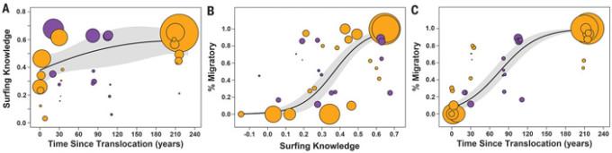 Рис. 4. Связь миграционной активности (% Migratory), оптимальности пространственных перемещений (Surfing Knowledge) и времени существования популяции (Time Since Translocation). Каждый кружок соответствует наблюдениям за одной популяцией в течение одного года. Оранжевые кружки — толстороги, фиолетовые — лоси. Размер кружка отражает статистическую достоверность (обратную дисперсию). За дату возникновения «исторических» популяций условно принят момент прихода европейцев в соответствующие районы (примерно 200 лет назад). Графики показывают, что миграционная активность и степень оптимальности перемещений с годами растут, но медленно. Рисунок из обсуждаемой статьи в Science