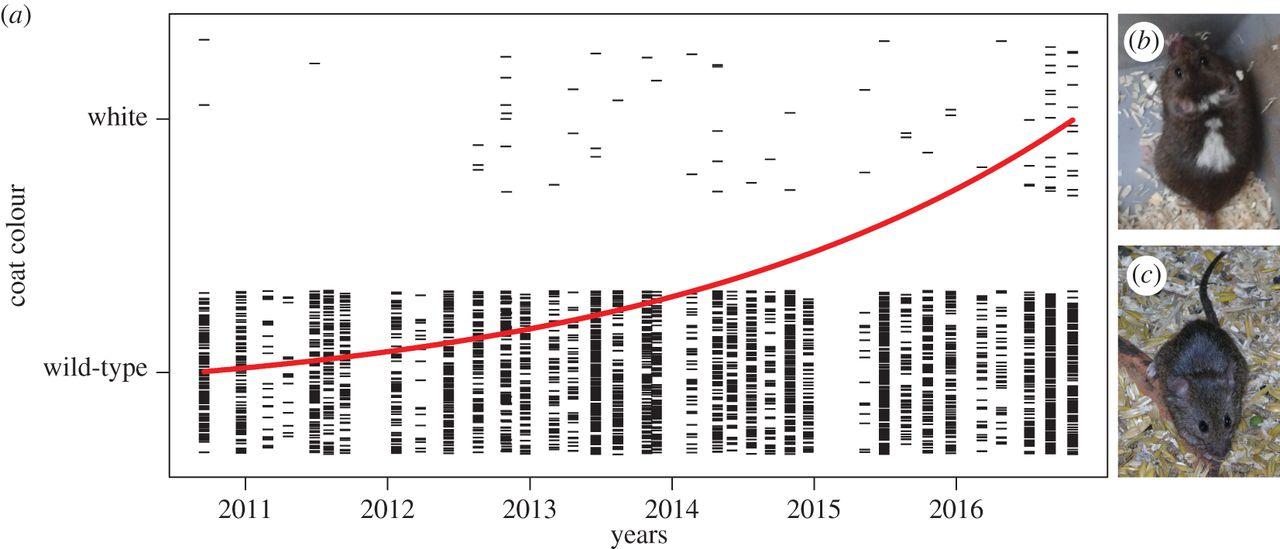 Быстрое увеличение пегостей и укорочение морды пр и самодоместикации мышей. Из: Geiger et al., 2018