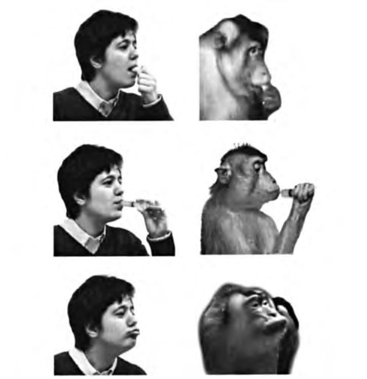 Рисунок 4.4. Примеры транзитивных и нетранзитивных действий экспериментатора и обезьяны, используемых для изучения зеркальных нейронов, кодирующих движения рта. Сверху вниз: захватывание пищи ртом; всасывание апельсинового сока из шприца; вытягивание губ.
