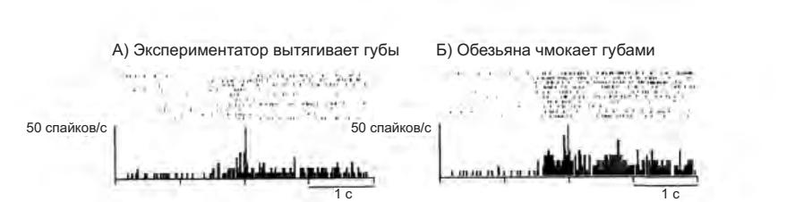 Рисунок 4.7. Пример коммуникативной зеркальной системы, кодирующей вытягивание губ. А — экспериментатор вытягивает губы, глядя на обезьяну. Б — обезьяна отвечает на чмокание экспериментатора чмоканием (Ferrari et al. 2003)