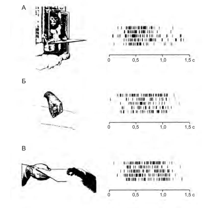 Рисунок 4.8. Активация «зеркального нейрона хватания». А — обезьяна, активность нейронов которой регистрируется, наблюдает за другой обезьяной, берущей пищу при помощи рук. Б — обезьяна смотрит, как экспериментатор берет пищу. В — обезьяна сама выполняет это действие. Для каждого условия показаны по пять записей активности нейрона. Спонтанная активность практически отсутствовала (Rizzolatti et al. 1996a)