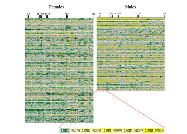 Объем серого вещества в разных отделах мозга на выборке из женщин (слева) и мужчин (справа). Каждая колонка - один регион мозга. Черными метками сверху помечены отделы, где обнаружены вариации в анатомических отличиях.