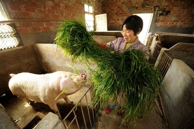 Небольшая китайская свиноферма, 2013 год