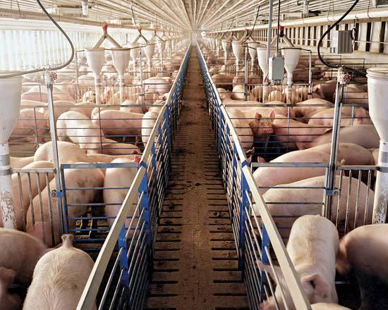 Современная интенсивная свиноферма на Западе