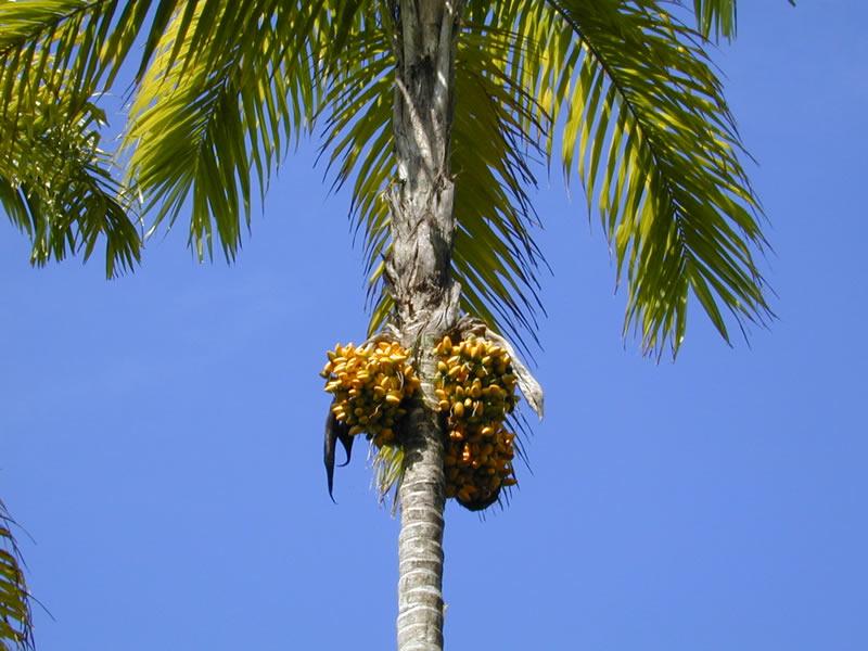Персиковая пальма, или пупунья