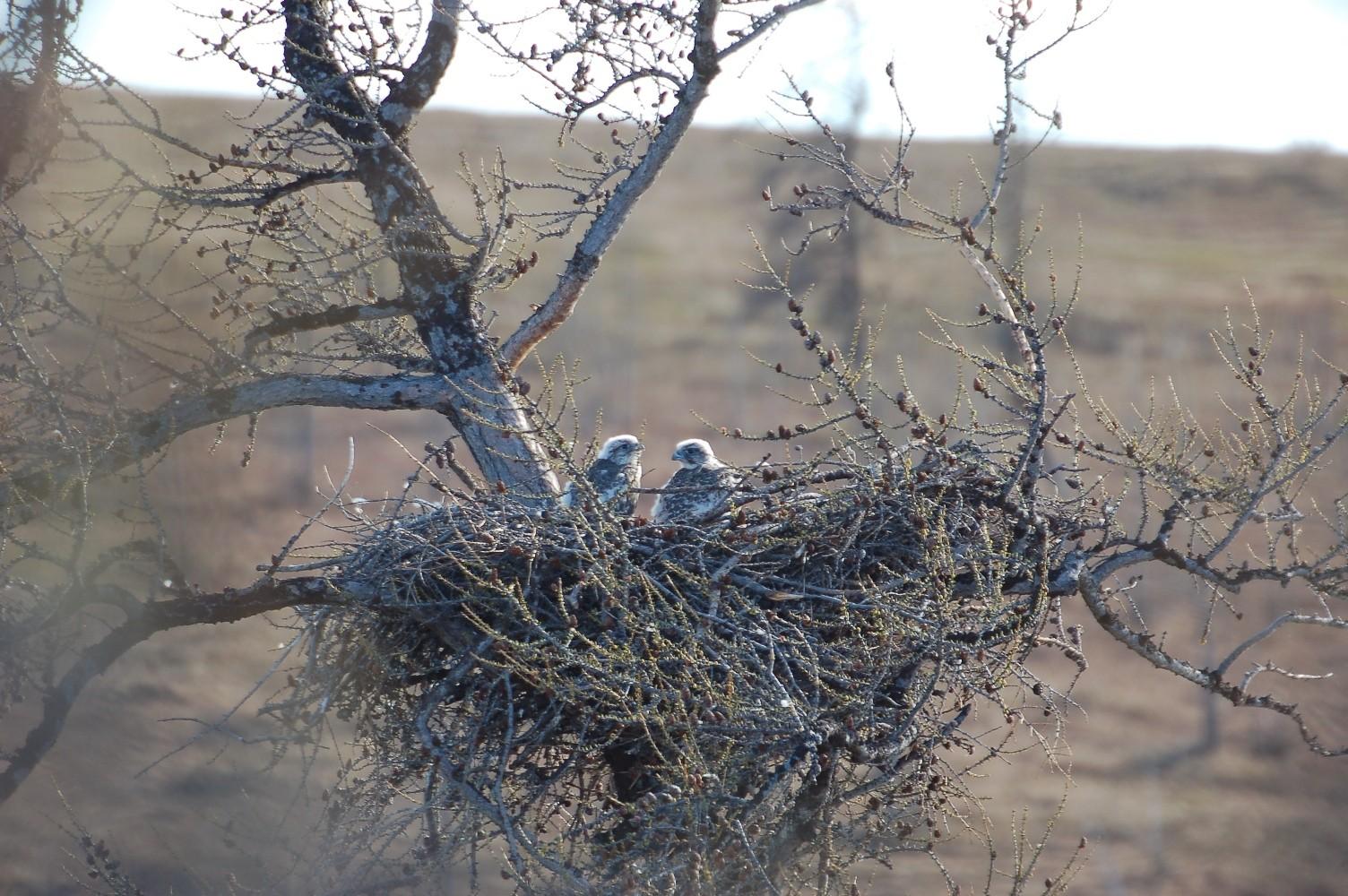 Птенцы кречета в гнезде орлана-белохвоста. Источник p-mechnikova.narod.ru