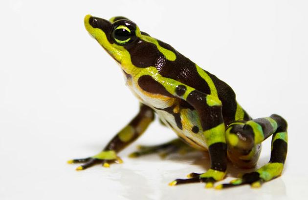 научились разводить в неволе редкую лягушечку-арлекина из Панамы Atelopus limosus, которой в природе угрожает исчезновение - от патогенного грибка