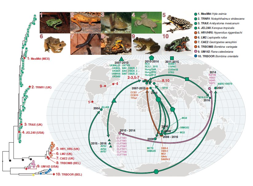 Genotypes of Bd isolated from infected amphibians in the international trade and phylogenetically linked genotypes from segregated geographic localities.The red diamonds on the phylogeny indicate isolates recovered from traded animals. Their geographic location is displayed by the red diamonds on the map. The red numbers link each trade isolate to the relevant picture of the donor host species atop the figure and their placement in the phylogeny. The arrows on the map link geographically separated isolates that form closely related phylogenetic clades with high bootstrap support (≥90%). Each clade is denoted by a different-shaped point on the map; names of isolates within each clade are displayed on the map.The dates displayed indicate the sampling time frame for each clade. The phylogenetic position of each clade is displayed in figs. S10 to S14. The colors of points and arrows on the map indicate lineage according to Fig. 1. A browsable version of this phylogeny can be accessed at https://microreact.org/project/GlobalBd.
