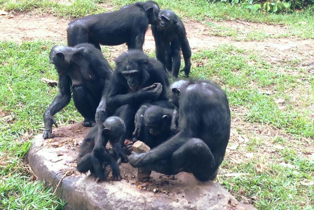 Бонобо за работой