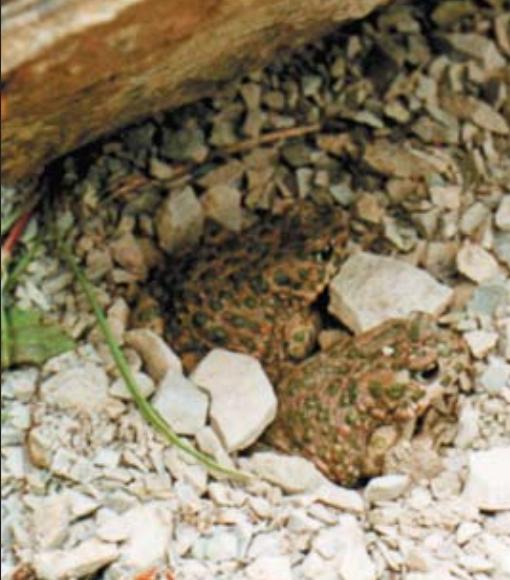 .Две зеленые жабы, которые прятались под камнем. В таком убежище они проводят весь день.