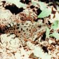 Ещё пример быстрой эволюции. Столкнувшись с засухой, следовавшей за антропогенной трансформацией лесных склонов в низкогорьях Западного Кавказа, малая популяция озерных лягушек Pelophylax ridibundus не только освоила лесные местообитания, но и вытеснила оттуда аборигенов – более адаптированных кавказских жаб Bufo verucosissima (но не куда...