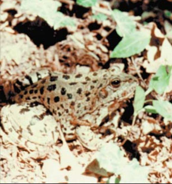 Озёрная  лягушка на охоте