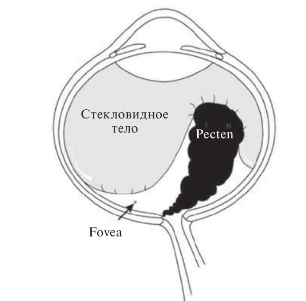 Рис. 2. Схема строения глаза дятла. Вырост сосудистой оболочки глаза (Pecten) прикрепляется в области зрительного нерва и обеспечивает питание внутренних структур глаза Fig 2. Scheme of woodpecker's eye. Choroid arm (Pecten), feeding the eye inner structures, is attached to the region of optic nerve.