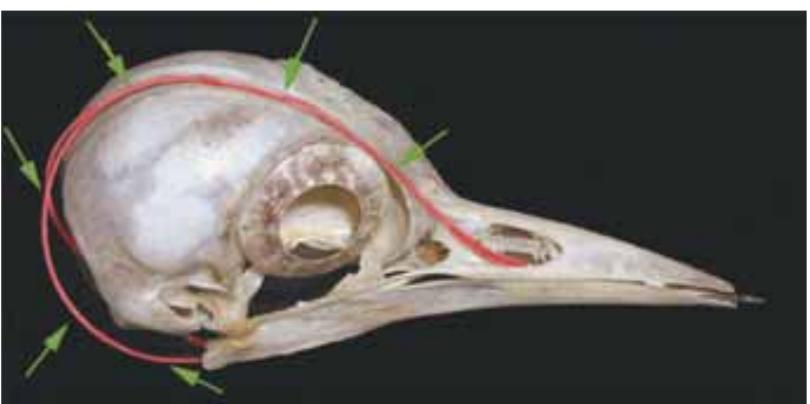 Рис. 3. Изображение черепа дятла. Красным цветом и стрелками выделен связочный аппарат языка: его рожки прикреплены в области правой ноздри, затем протягиваются на лоб и макушку, разделяясь, огибают череп снизу и сливаются уже в ротовой полости. По периметру глазницы видны склеральные косточки, образующие кольцо, удерживающее и защищающее глаз птицы Fig 3. Picture of woodpecker's skull. Ligamentous apparatus of tongue is marked by red and arrows: its horns are attached to the region of right nostril with following extension onto forehead and top, then they branch and round skull from below and converge as late as oral cavity. Scleral bonelets positioned as a ring fixing and protecting the bird eye are seen along the perimeter of orbita.